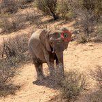 Elefant mit Tracking-Gerät am Ohr