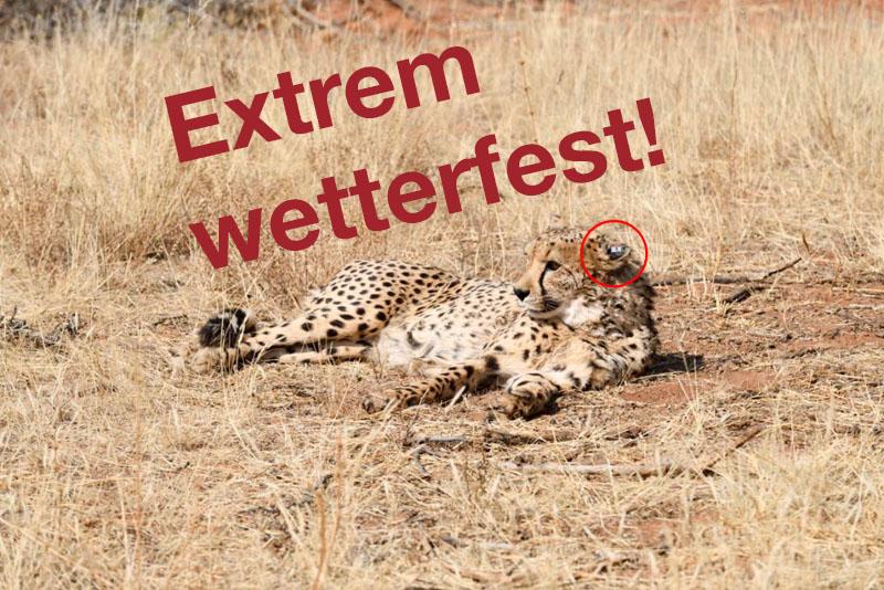 Foto von Gepard mit accundu-Trackingssystem am Ohr, Schrift auf Bild: Extrem Wetterfest